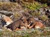 Rodzina wilków etiop...