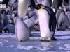 Młode pingwiny cesar...