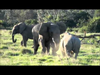 Słoń odwraca uwagę a...