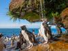 Pingwin skalny bierz...