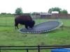 Zagubiony byk